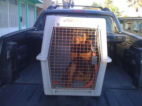 Tijuana dog